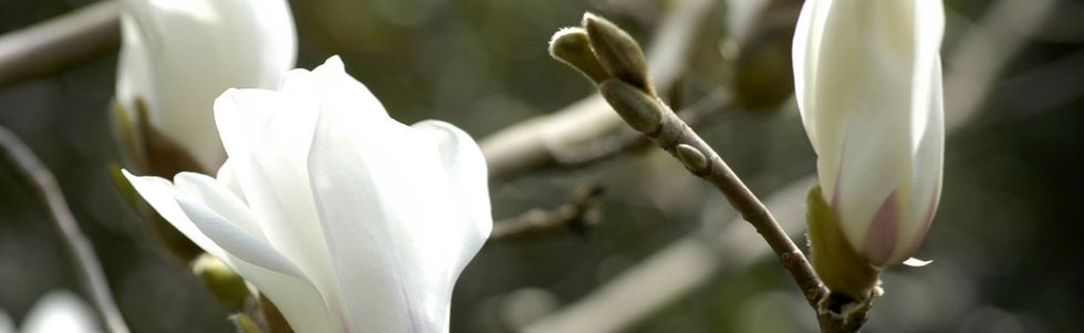 Main photo for Magnolia bloomometers herald the start of spring!