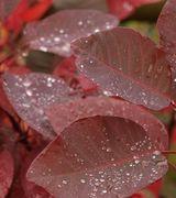 Image of Autumn Colour Shrubs