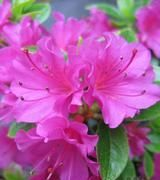 Image of Azaleas