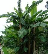 Image of Banana Plants