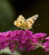 Image of Butterfly loving trees and shrubs