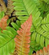 Image of Ferns