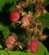 Image of Shrubs with edible fruit