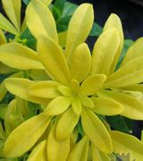 Golden Wedding Plants