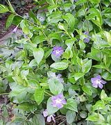 Image of Ground Cover Plants