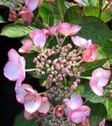 Image of Hydrangeas