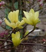 Image of Magnolias