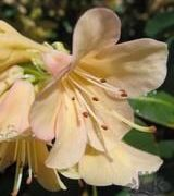 Image of Rhododendrons