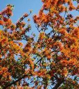 Image of Flowering Trees