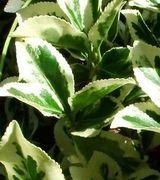 Image of Variegated Foliage