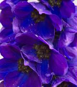 Purple/Lilac/Mauve