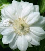Image of White