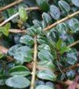 Image of Hedges - Hedging Plants