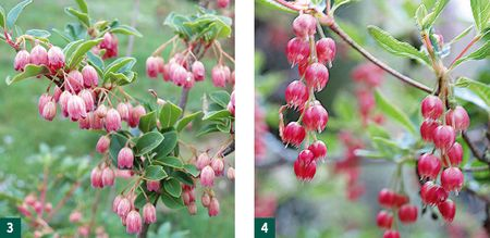 Enkianthus campanulatus Victoria &amp; Enkianthus cernuus f. rubens