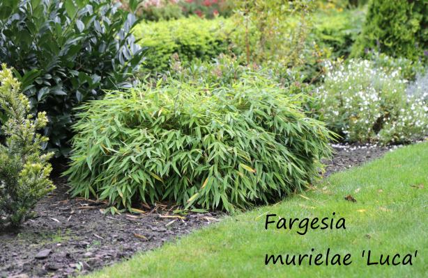 Fargesia murielae 'Luca'