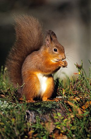 Red Squirrel resize jpg 3