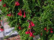 Cantua  buxifolia