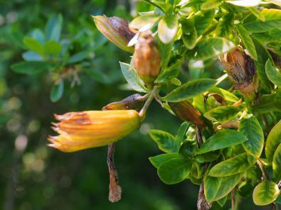 Cantua  buxifolia  seed pods