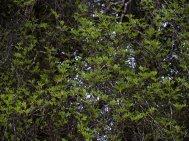 Eucryphia  glutinosa