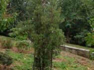 Eucryphia  lucida