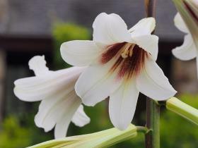 Cardiocrinum flower