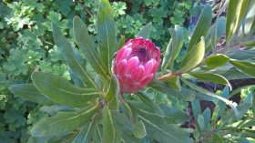 Proteas - at Caerhays