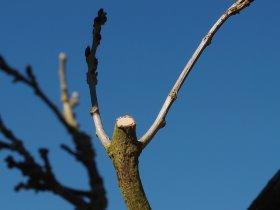 Wisteria hard pruning