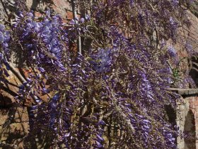 Wisteria at Penrice Castle