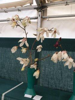 RHS Savill Garden - Class 16 – Magnolia denudata 'Sunrise'