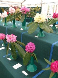RHS Savill Garden - Class 2 – Rhododendron macabeanum, praestans, nivuem