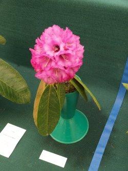 RHS Savill Garden - Class 5 – Rhododendron arborea niveum