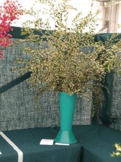 RHS Savill Garden - Class 6 – Azara microphllya 'Variegata'