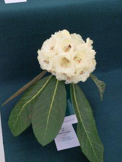 RHS Savill Garden - Class 9 – Rhododendron sinogrande