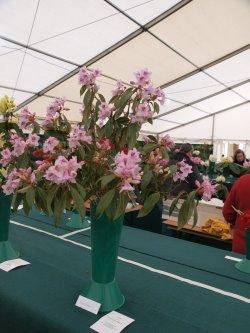 RHS Savill Garden - Class 24 – Rhododendron siderophyllum
