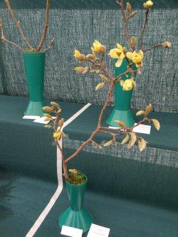 RHS Savill Garden - Class 15 – Magnolia acuminata 'Butterflies'