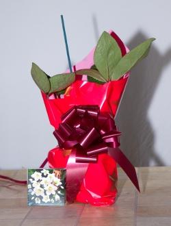 Helleborus niger 'Christmas Rose'