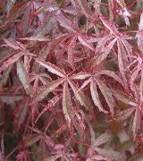Caring for Acers