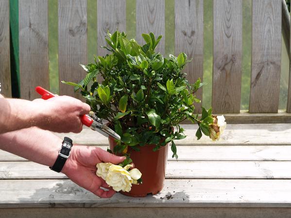 Как заставить розу цвести в домашних условиях 875