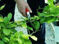 Pruning of Citrus