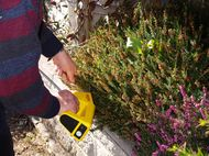 clipping heathers with hand trimmers