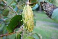 Unripe Magnolia globosa seed