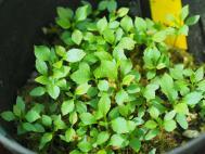 Enkianthus   seedling