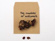 Magnolia campbellii var mollicomata seed
