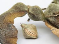 Ripe Acer seeds