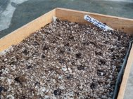 Old fashioned wooden seed trays