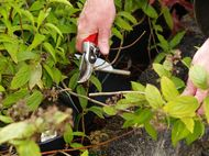 pruning spring flowering plants