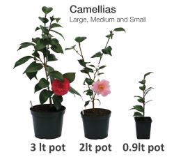 large, medium and small camellias