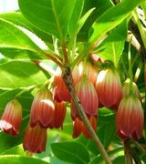 Enkianthus Care & Advice