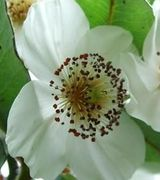 Eucryphia Care & Advice