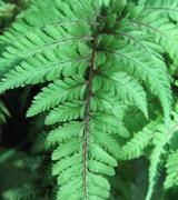 Caring for Ferns